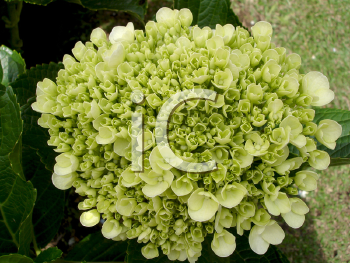 Royalty Free Photo of a Hydrangea
