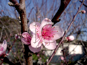 Royalty Free Photo of a Cherry Blossom