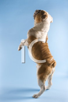 Royalty Free Photo of a Back View of an English Bulldog Standing on Hind Legs