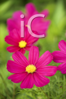 Image of cosmos flower.