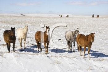 Royalty Free Photo of Horses in a Snowy Pasture