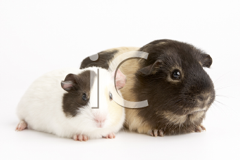 Royalty Free Photo of Two Guinea Pigs