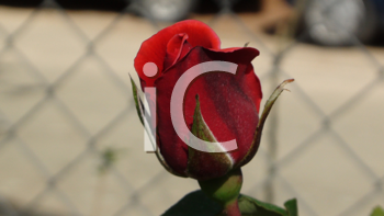 Royalty Free Photo of a Rose