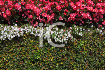 Wall, overgrown with flowers, in decorative park on island Izola Bella. Lake Maggiore, Northern Italy