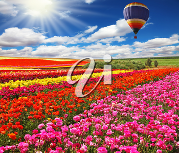 Big balloon flies over field of flowering. Picturesque field of colorful buttercups spring in the south