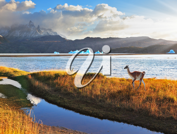 Trusting guanaco on the shore of Lake Grey.  National Park Torres del Paine, Chile. Gray lake and snow-capped mountains. Blue iceberg floating in the distance. Warm summer sunset light illuminates the