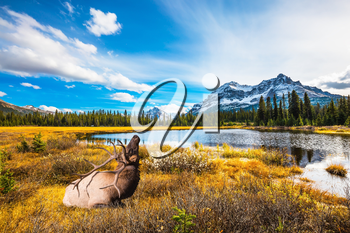 The beautiful nature in northern Rocky Mountains of Canada. Red deer with branched antlers resting in the grass