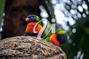 Two Rainbow Lorikeet, Trichoglossus haematodus colorful parrots
