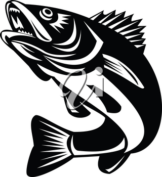 Black and White Illustration of a Walleye (Sander vitreus, formerly Stizostedion vitreum), a freshwater perciform fish jumping up on isolated background done in retro style.