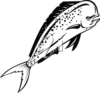 Retro style illustration of a mahi-mahi, dorado or common dolphinfish(Coryphaena hippurus), a surface-dwelling ray-finned fish, swimming up done in black and white on isolated background.