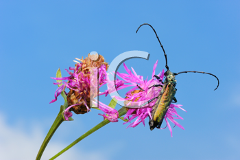 Royalty Free Photo of a Longhorn Beetle Aromia Moschata on a Pink Flower