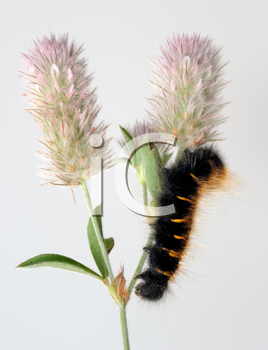 Royalty Free Photo of a Black and Orange Caterpillar on Clover