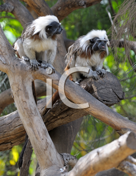 Royalty Free Photo of Monkeys on Branches
