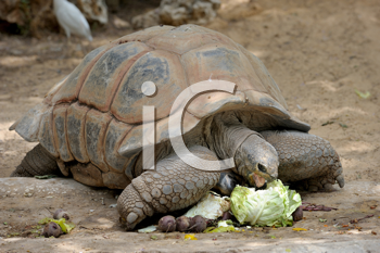 Royalty Free Photo of a Gigantskoya Turtle at the Zoo Having a Meal