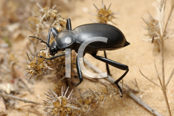 Royalty Free Photo of a Black Beetle