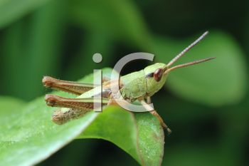 Royalty Free Photo of a Grasshopper in the Grass