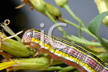 Royalty Free Photo of a Brightly Coloured Caterpillar on a Plant