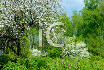 Royalty Free Photo of a Blossoming Apple Tree in a Garden