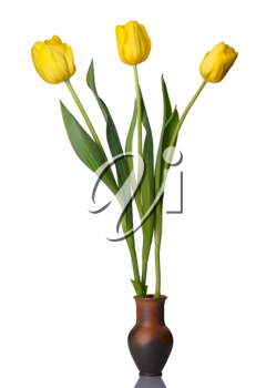 Tulip flowers in a pot of red clay, isolated on a white background.