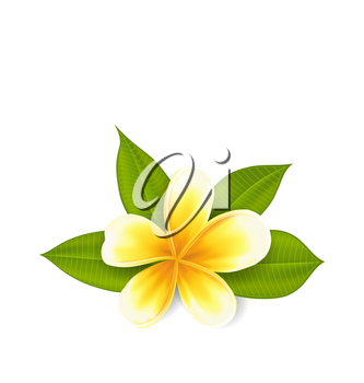 Illustration frangipani with leaves, exotic flower isolated on white background - vector