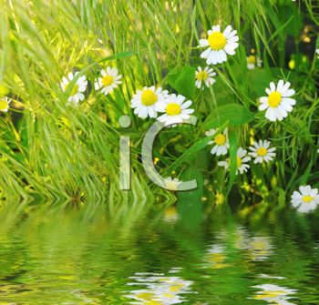 Daisies in fresh green grass near pond