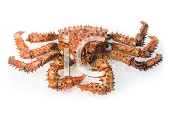 The King crab on a white ice background
