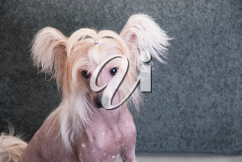 chinese crested puppy dog in front at sofa