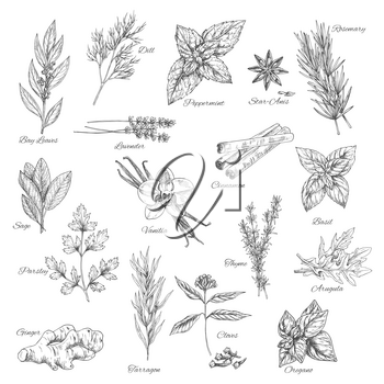 Spices and herbs sketch of vector dill, peppermint or anise and rosemary, bay leaf or lavender and cinnamon, basil or sage, parsley and vanilla or thyme, arugula, oregano or clove and ginger or tarrag