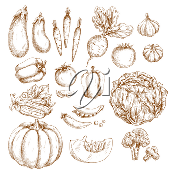 Farm vegetables vector sketch icons. Pumpkin or eggplant and organic harvest of carrot, radish or beet and tomato, vegetarian garlic, pepper or cabbage and green pea or bean, cucumber, cauliflower or