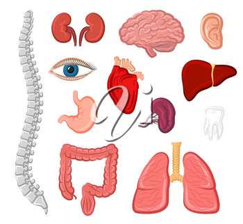 Human organ cartoon icon set. Heart, lung, liver, ear, stomach, kidney, brain, eye, tooth, bladder, ear, spine and intestine isolated sign. Internal and external organs for anatomy and medicine design