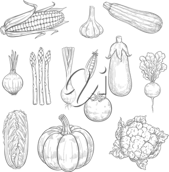 Vegetables sketch icons and natural veggies. Vector isolated set of farm harvest zucchini, carrot or pumpkin and pepper, garden eggplant, radish or tomato and cucumber or cauliflower cabbage