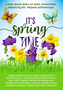 Spring Time poster of flower bouquet and springtime blooming yellow daffodils with butterfly and blue crocuses or narcissus bouquet. Vector design of spring floral bunch for Hello Spring holiday greet
