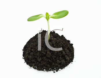 Royalty Free Photo of a Sunflower Sprout in Soil