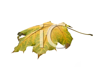 Autumn. Isolated maple leaf over white