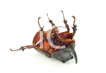 Macro. Belly of rhinoceros or unicorn beetle over white background