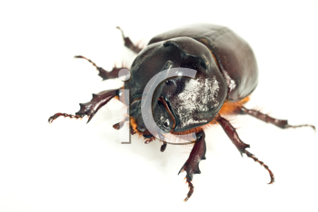 Macro of rhinoceros or unicorn beetle over white background (shallow DOF)