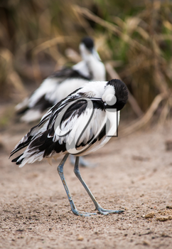 Pied avocets in the morning: waders cleaning and scraoeing themselves