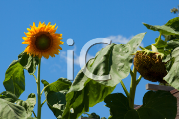 Royalty Free Photo of a Sunflower Field