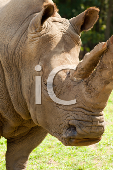 Royalty Free Clipart Image of a Rhinoceros's Head