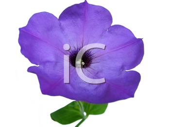 closeup of petunia flower isolated on white