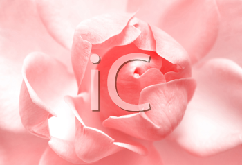 beautiful pink rose close up background