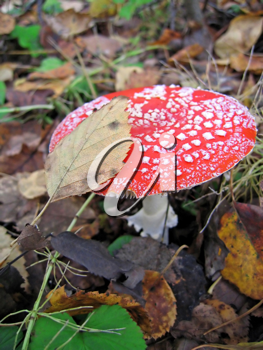poisonous mushroom a red fly agaric