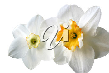 flowers of daffodils (narcissus) isolated on white background