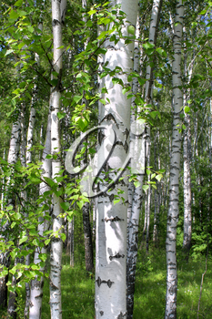 Beautiful birch trees in a summer forest