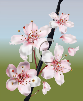Royalty Free Clipart Image of Cherry Blossoms