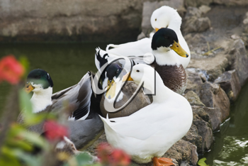 Close-up of five ducks in the pond, New Delhi, India