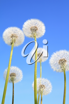 white dandelions on blue background