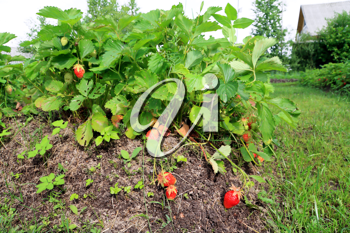 red strawberries in rural vegetable garden