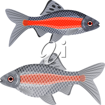 Exotic aquarium fish sort karpovy ticto barb, EPS10 - vector graphics.
