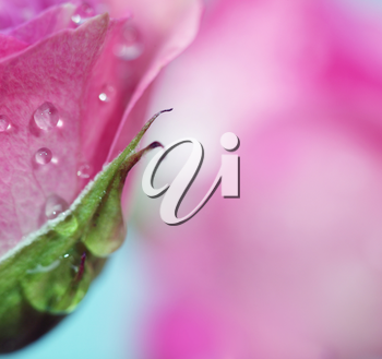 Soft focus rose flower background. Made with lens-baby and macro-lens.